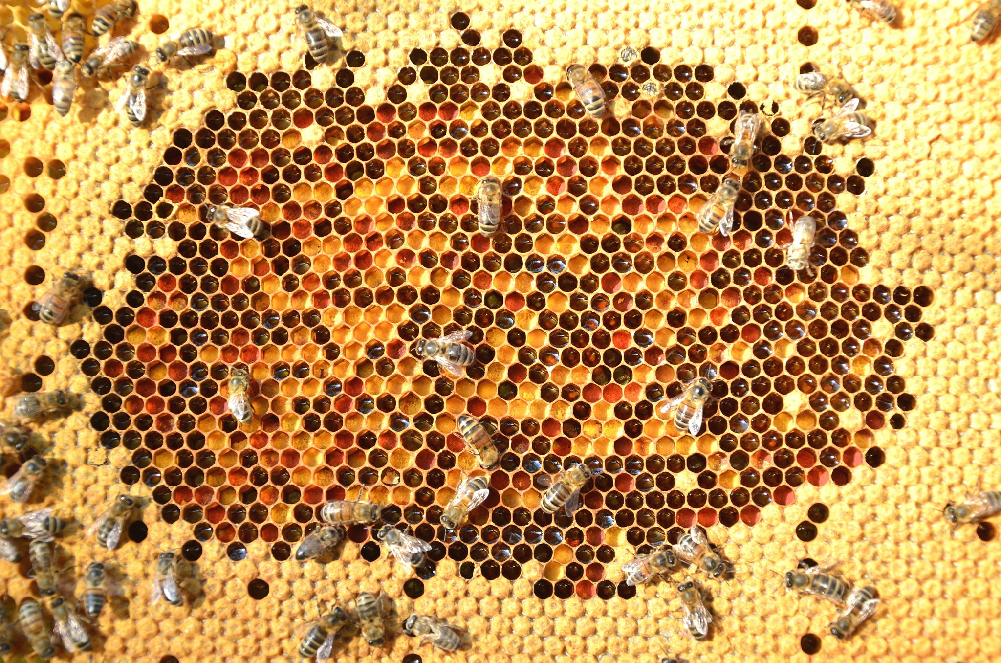 Bees making honey beeswax comb