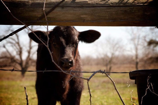 "Baby cow, from documentary ""American Meat"""