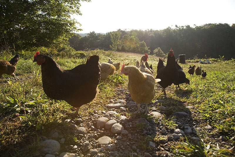 "Chickens from documentary ""The Greenhorns"""