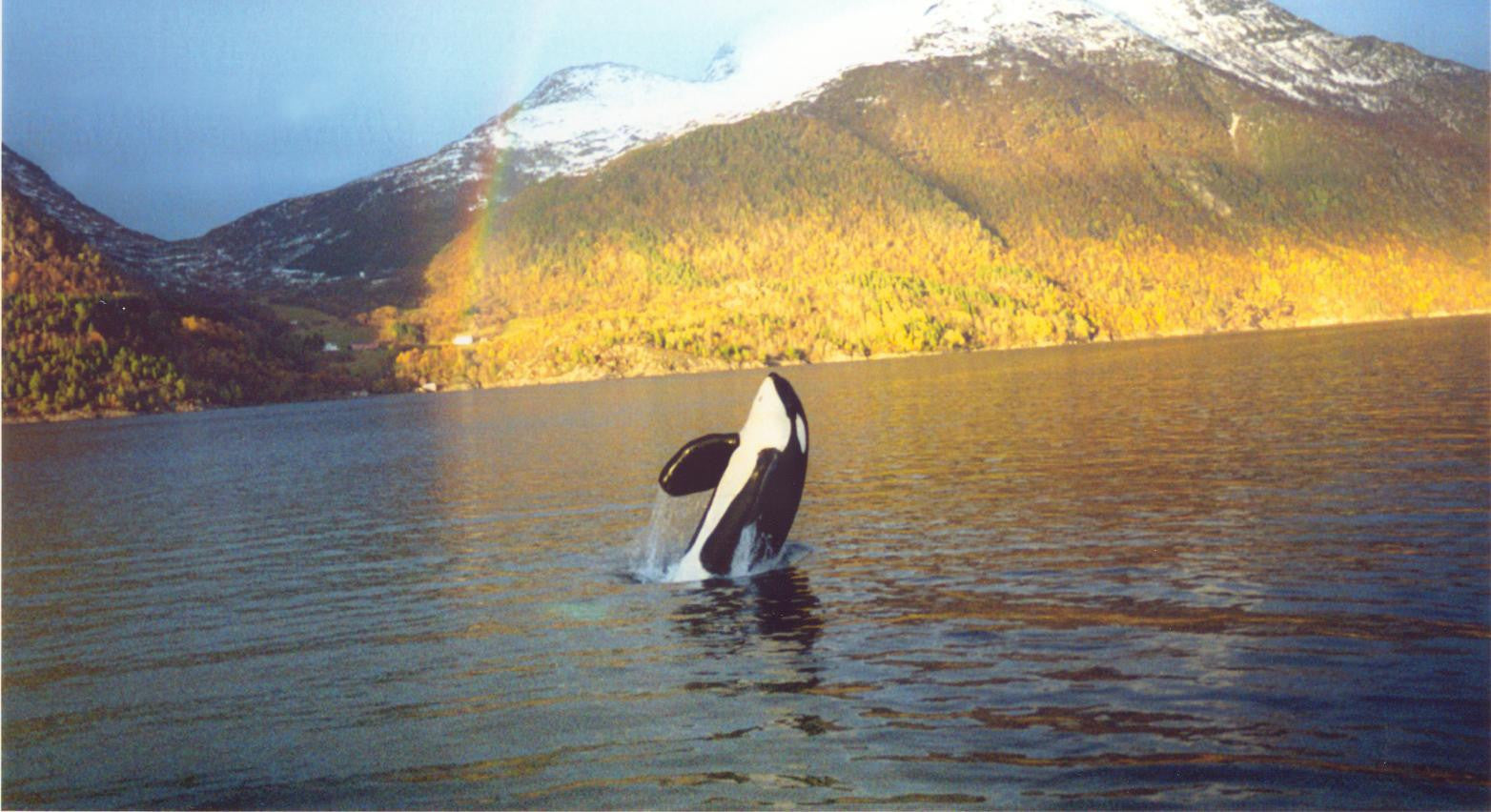 "Scene from documentary ""Keiko: The Untold Story of the Star of Free Willy"""