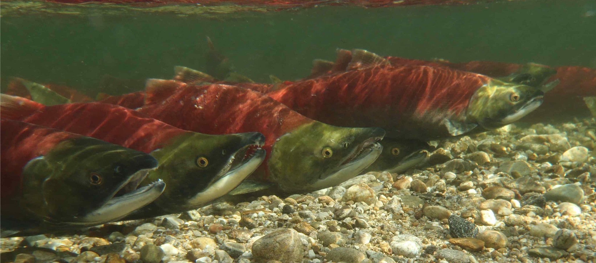 "Sockeye Salmon from documentary ""Salmon Confidential"""