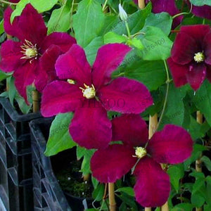 New Arrival!free ship 100 Pcs multi-colored clematis garden, real rare clematis plant flores, Bonsai clematis bulbs wire lotus p