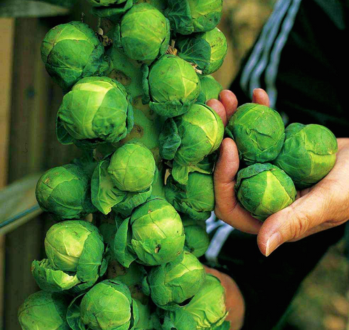 Brussel Sprout Seeds -  Long Island Improved - 2g - englandpoppyseeds