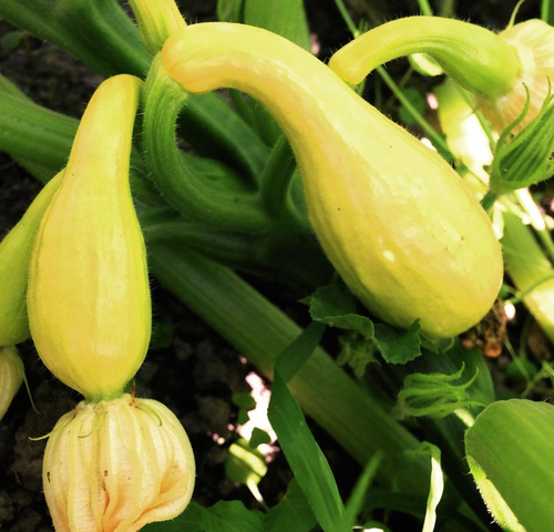 Squash Seeds - Early Summer Crookneck - 4g