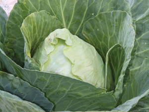 Cabbage Seeds - Early Jersey Wakefield - 3g - englandpoppyseeds