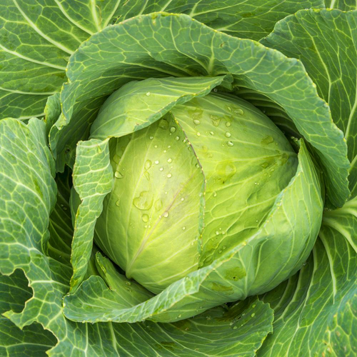 Cabbage Seeds - Golden Acre - 3g
