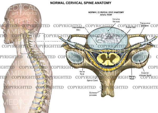 Cervical spine normal anatomy