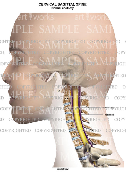 Cervical spine normal anatomy - sagittal view - female