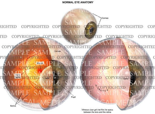 Normal eye anatomy with a wedge cut interior view