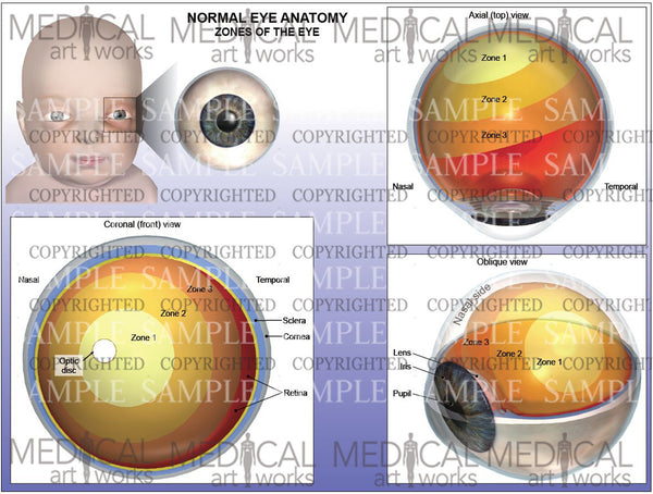 Normal eye anatomy - Zones of the eye - Infant