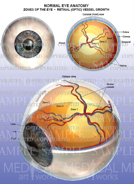 Normal eye anatomy - Zones of the eye - Retinal vessels