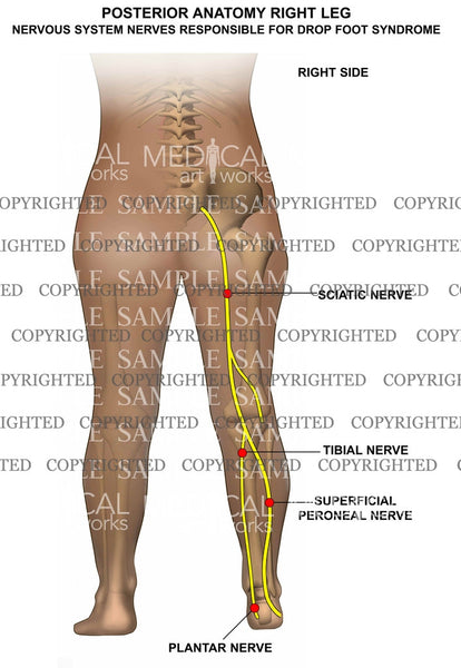 Posterior anatomy right leg — Medical Art Works