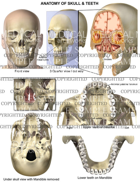 Anatomy of skull and teeth