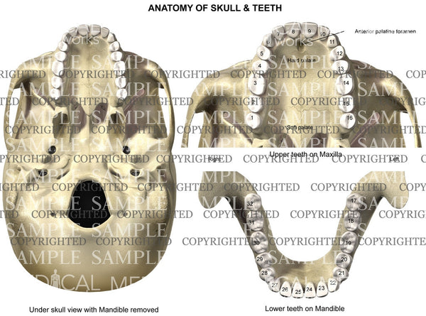 Anatomy of teeth and skull