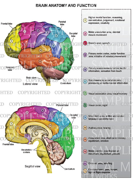 Brain anatomy and function - lateral and sagittal view