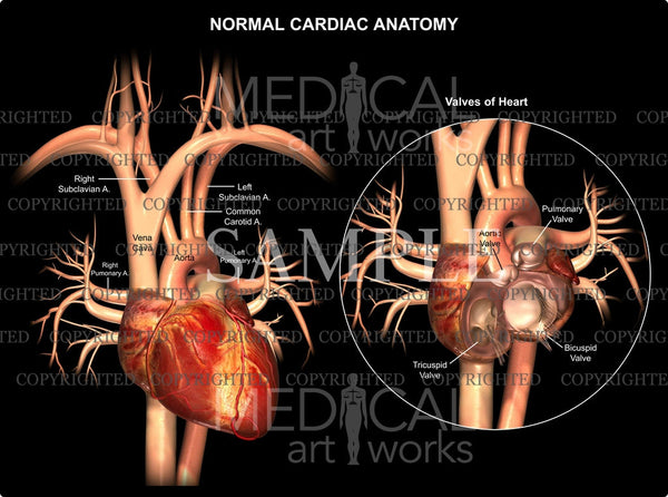 Normal Cardiac Anatomy