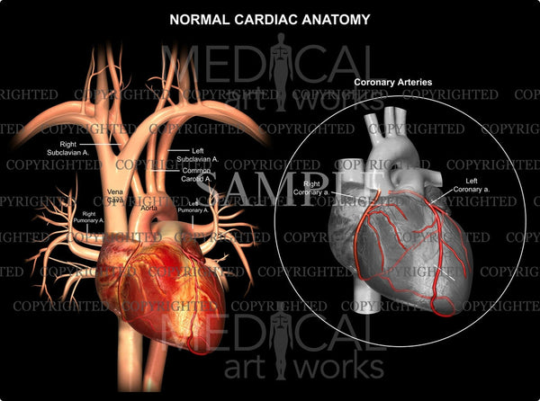 Normal Cardiac & Coronary Anatomy