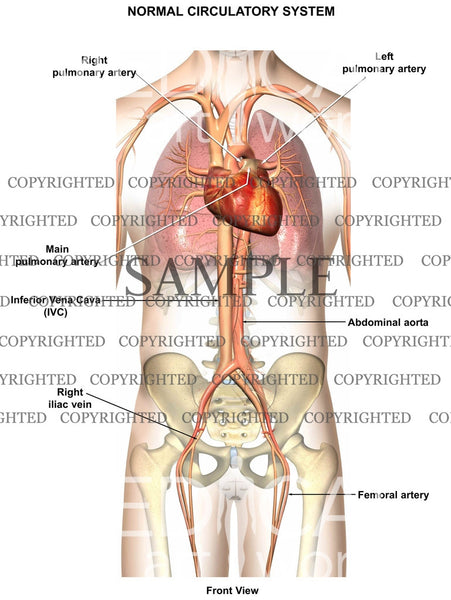 Normal Circulatory Anatomy 1