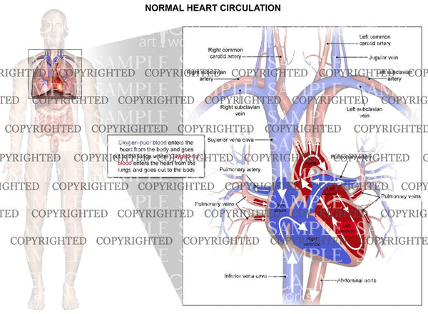 Normal circulation of blood through the heart and lungs