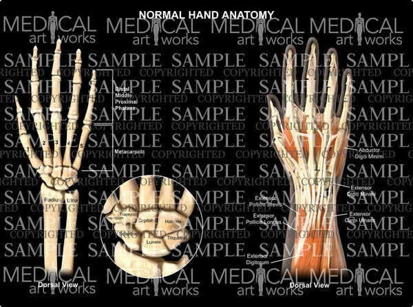 Normal hand wrist anatomy - dorsal view