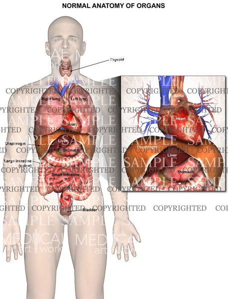 Normal chest and abdominal anatomy/organs