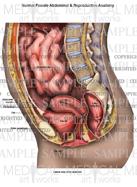 Lateral abdominal and reproductive anatomy of female