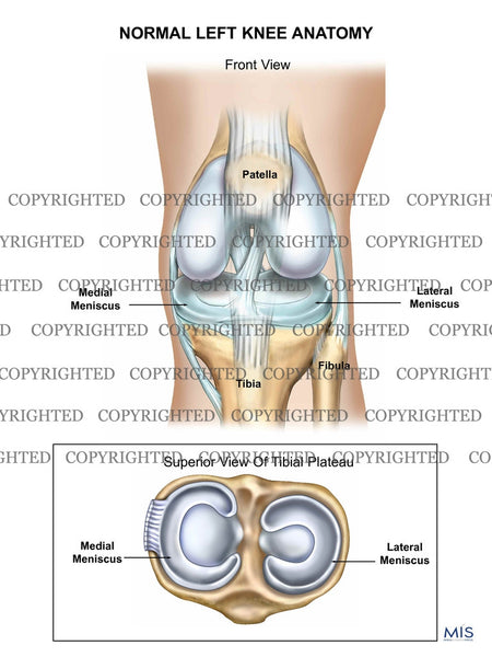 Normal Left Knee Anatomy