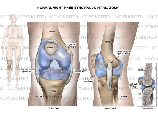 Normal right knee synovial joint anatomy - Collateral ligaments - Female