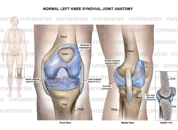 Normal Left Knee Synovial Joint Anatomy Collateral Ligaments