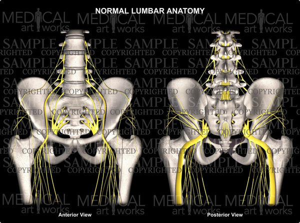 Normal Lumbar and Hip Anatomy with Nerves