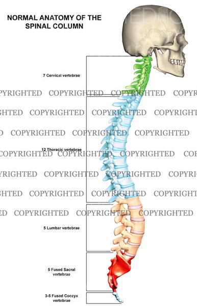 Normal Spinal Column Anatomy