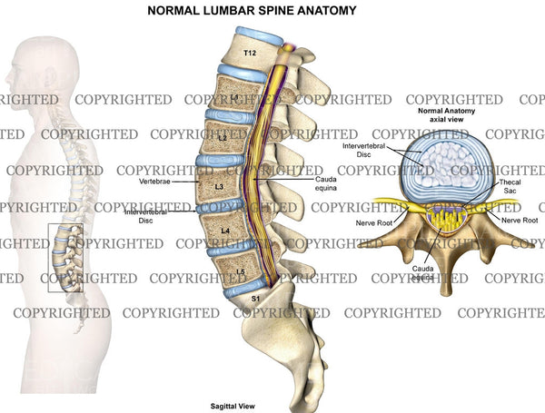Normal lumbar spine anatomy