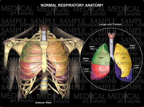 Normal Respiratory Anatomy Lungs