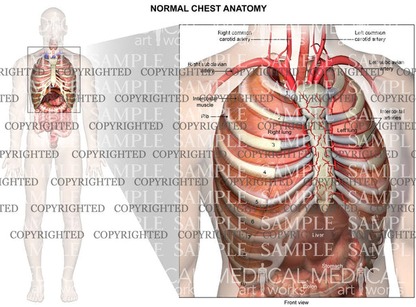 internal normal anatomy of the chest — medical art works, Cephalic Vein