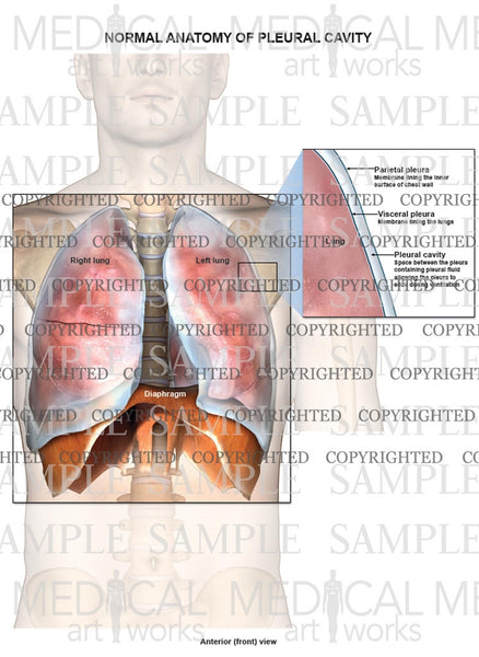 Normal Anatomy Of Pleural Cavity And Lungs Medical Art Works