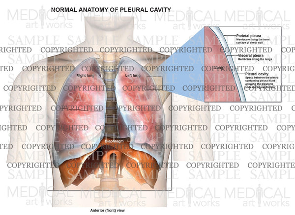Normal anatomy of the lungs and pleural cavity