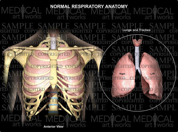 Normal Respiratory Anatomy