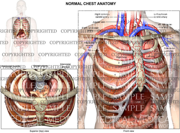 Internal normal anatomy of the chest in two views