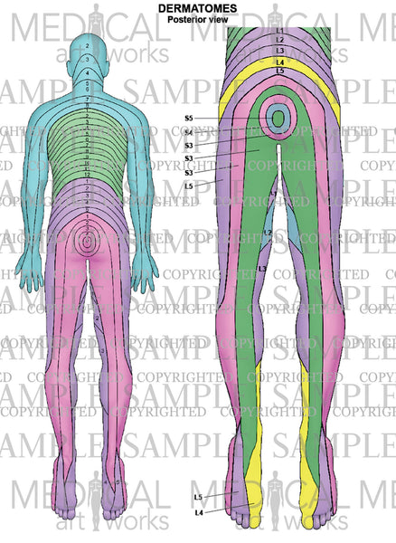dermatomes spinal nerves image collections