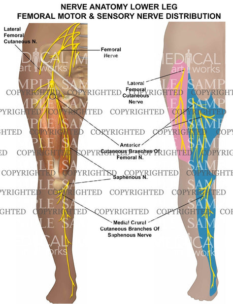 Nerve anatomy lower leg