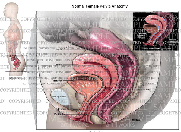 Normal Female Pelvic Floor Anatomy Medical Art Works