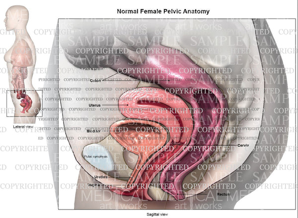 Normal anatomy of female pelvic floor
