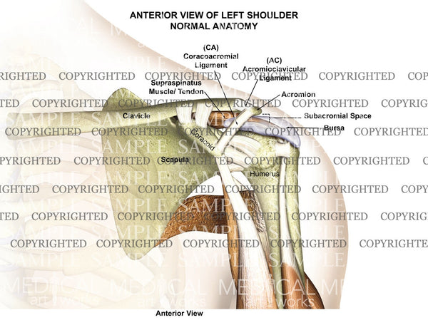 Normal Left Shoulder Anatomy