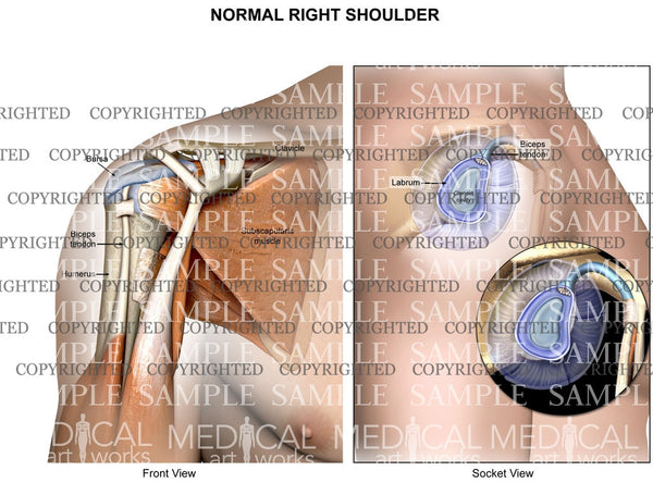 Normal right shoulder anatomy