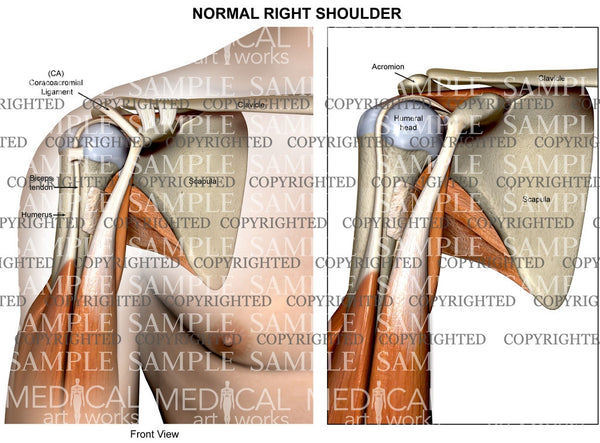 Normal Shoulder Anatomy anterior view