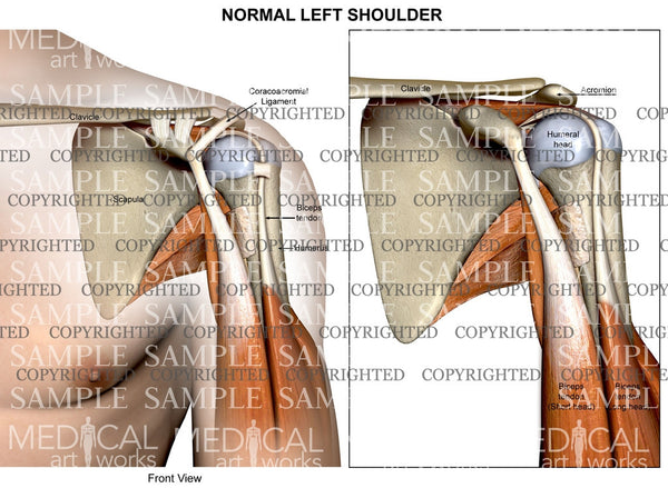 Normal left Shoulder Anatomy of muscles and ligaments