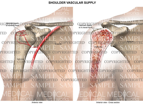 Normal Shoulder vascular supply