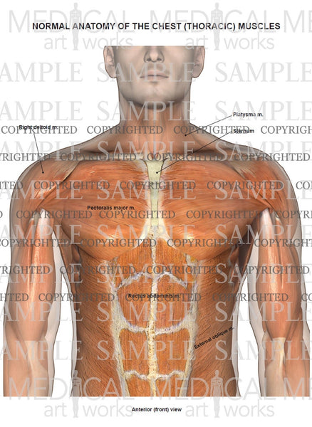 Normal anatomy of the muscles of the chest and abdomen