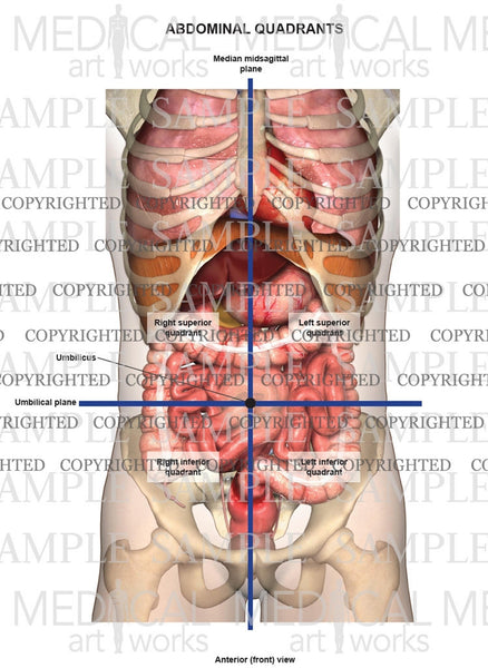 Abdominal quadrants anterior view