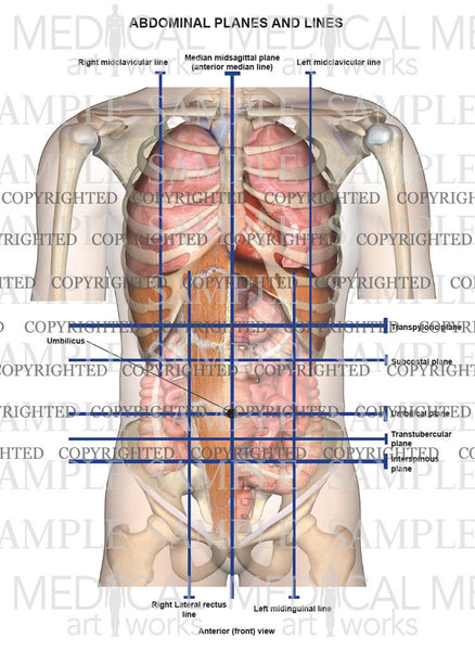 Abdominal Planes And Lines Medical Art Works